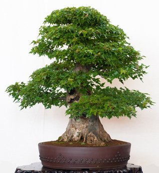 Seedeo Bonsai Anzucht - Set...
