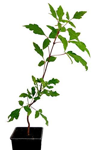 Seedeo® Zimtahorn Pflanze ca. 15cm - 20 cm hoch