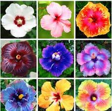 200 pcs 24 couleurs bonsaï Graines Hibiscus Fleur Hardy, Mix couleur, bricolage jardin de plantes à fleurs en pot, fleur de graines de bonsaï