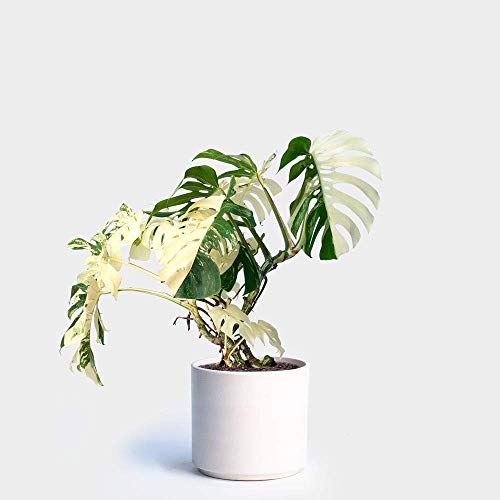 Portal Cool 100Pcs Weiß Monstera Samen Palm Turtle Topfpflanze Bonsai-Baum-Dekor-Hausgarten