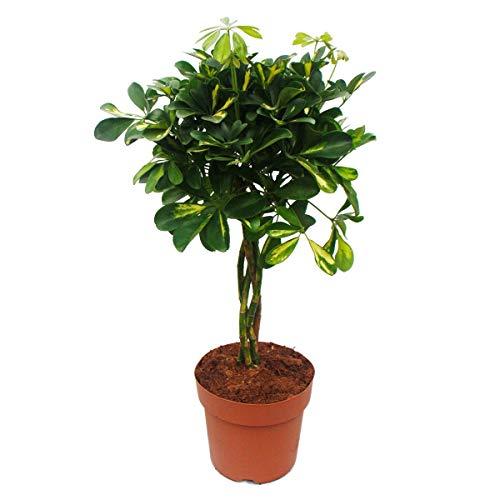 Plante d'intérieur - Schefflera - avec tronc tressé - hauteur env. 60-70cm