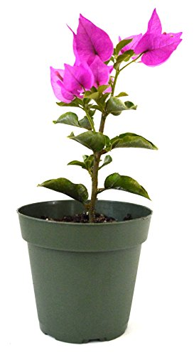9GreenBox - Royal Purple Bougainvillea Plant -Indoors/Out or Bonsai - 4 Pot