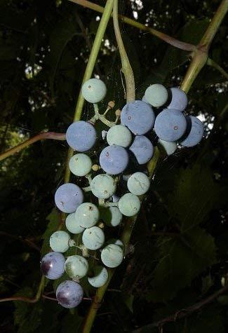 10 graines de raisin Berge RHM988 (Vitis Riparia)
