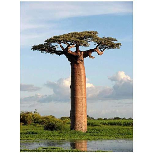Foto Baobab árbol imagen pared arte película impresión seda póster decoración del hogar lienzo pintura 24x36 pulgadas sin marco