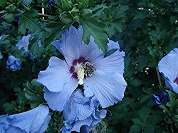 Potseed Keimfutter: 50 Blue Bird Rose von Sharon Hibiscus syriacus Blume Baum Bush Seeds