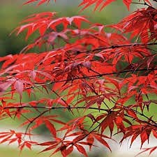 Super beauty product restock quality top Elwyn Max 41% OFF 10 Red Tree Seeds Maple