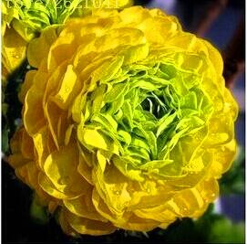 10 pcs/sac graines de pivoines Terrasse Cour Jardin Paeonia Suffruticosa Graines de fleurs vivaces plantes en pot pour le jardin de la maison 13