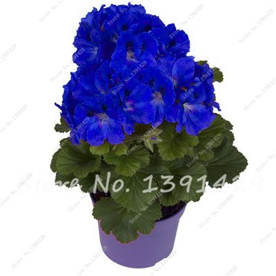 Multi Color 100 pcs Mini Bonsai Géranium Graines vivaces Graines de fleurs Pelargonium Peltatum Jardin Plantes en pot Fleurs Sementes 10