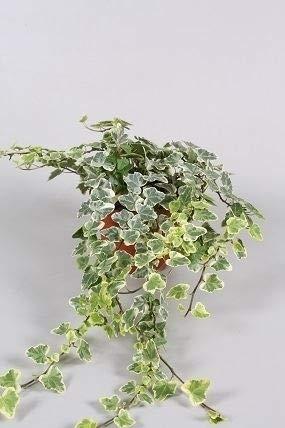 Efeu (Hedera helix), echte Pflanze, als...