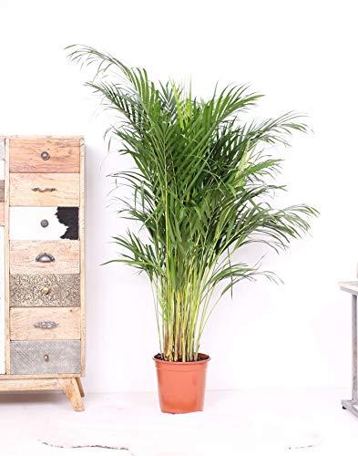 Zimmerpflanze Areca-Palme, Goldpalme, Palme - 130cm hoch - ø24cm Topfgröße - Große Zimmerpflanze - Tropische Palme