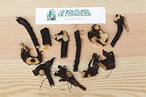 10 talee di consode varietà Bocking 14. Piantate il consoude nel vostro giardino, fate del crollo e non comprate più fertilizzanti chimici.