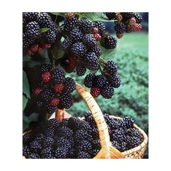 1 Black Hawk - Black Raspberry Plant - All Natural Grown - Ready for Fall Planting