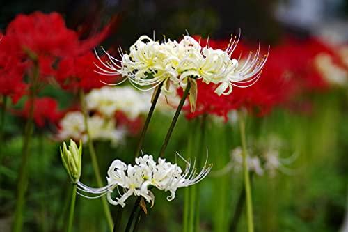Bulbos de lycoris florece repetidamente el ramo es increíblemente brillante primera opción flores encantadoras únicas-15 Bulbos