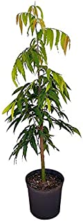 longifolia tree
