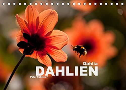 Dahlia - Dahlien (Tischkalender 2022 DIN A5 quer)