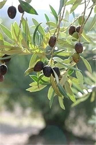 Bloom Green Co. ¡Promoción!15 Unids Raro Olivo Bonsai de Olivo (Olea Europaea) Mini Planta de Ãrbol para el Hogar Jardín Suministros, Macetas de Flores Exóticas Maceteros: 11