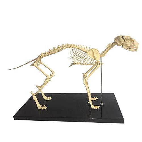 Water cup モデルスケルトン解剖学的モデル、アセンブリモデル1:1小動物猫スケルトン解剖学的モデルペット猫の骨動物スケルトンサンプル解剖学獣医教育デモンストレーションツール学校用動物スケルトン