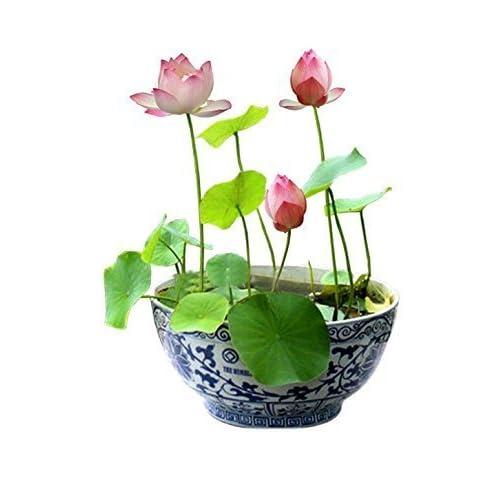 Floral Treasure Pink Lotus Flower Seeds - Pack Of 10