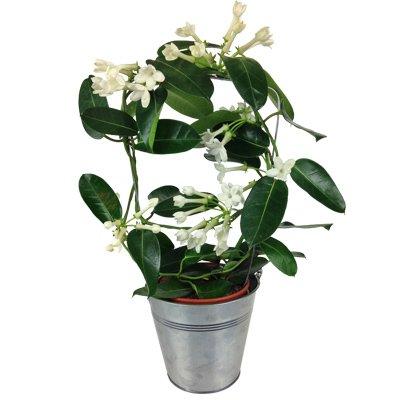 Stephanotis mit weißen Blüten - Zimmerpflanze inklusive Übertopf