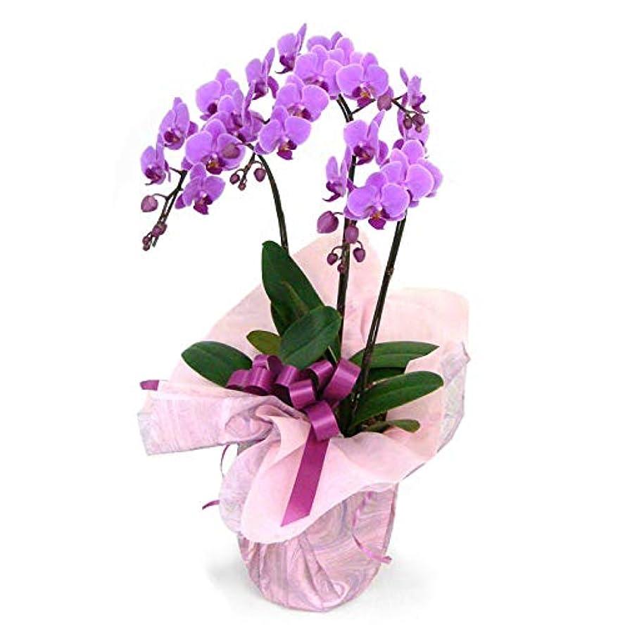 矩形絶滅した祈り電報屋のエクスメール 胡蝶蘭 「ミディ胡蝶蘭 3本立 ピンク」 (電報なし) 21輪以上 お祝い 花 フラワー 鉢花 ギフト 贈り物