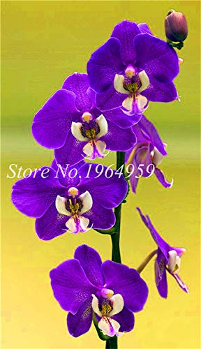 Shopmeeko Graines: Bonsai Multi-couleur de la fleur d'orchidée Fleurs 100 Pcs Potted/Mixed Bag Cymbidium Faberi Balcon Plante en pot pour jardin: 10
