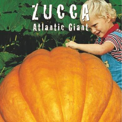 ZUCCA Atlantic Giant (Cucurbita maxima duchesne)