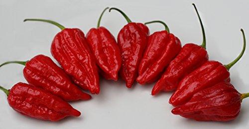 Liveseeds-Dorset Naga - Morich Chilli Pepper x 20 Samen