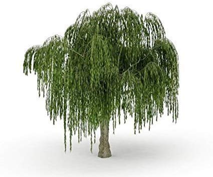 Dwarf Weeping Willow Tree Cutting - Burning Bush Weeping Willow - Unique and Small Indoor/Outdoor Tree Shrub Plant - Excellent Bonsai Tree - Ships Bare Root, No Pot or Soil
