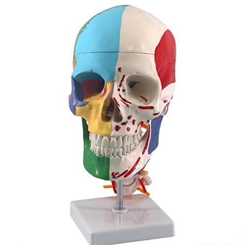 ZJM Menschliches Schädelmodell Mit Halswirbel, Lebensrahmen Schädel Anatomisches Modell Mit Markierungen, Muskeln-Ursprüngen Und Einfügen, Head Skeleton-Lehrmodell Für Medizinische/Kunst/Forschung