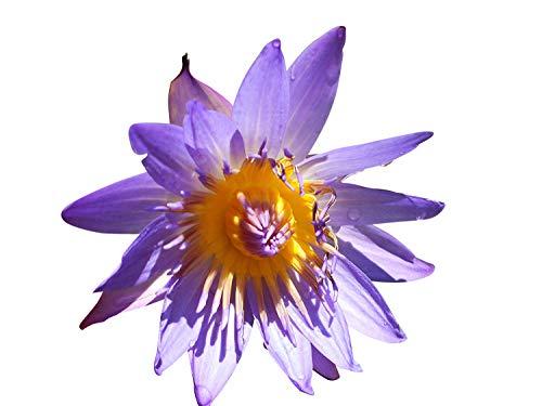 Violette Seerose 10 Samen