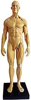 XYXZ Anatomy Models Male Anatomy Figure Model - Art Human Muscle Skull Head Bone Anatomical Structure Model - Pu Material ...