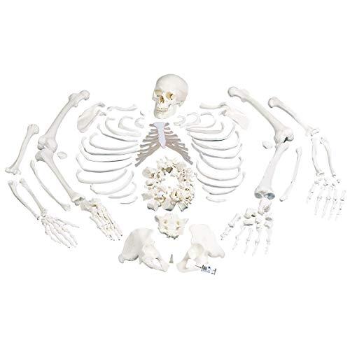 3B Scientific A05/1 Esqueleto Completo, Desarticulado con Cráneo, 3 Piezas - 3B Smart Anatomy ✅