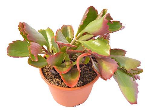 Kalanchoe sexangularis, planta crasa resistentes a la sequía