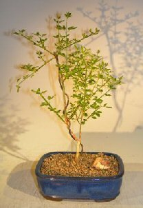 Bonsai Boy's Flowering Winter Jasmine Bonsai Tree jasminum nudiflorum