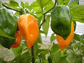 Super hot chilli plants X3 coloured PRE ORDER ONLY red, yellow /& brown