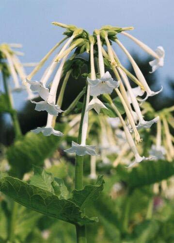 Flower - Nicotiana Sylvestris - White Trumpets - 1000 Seeds