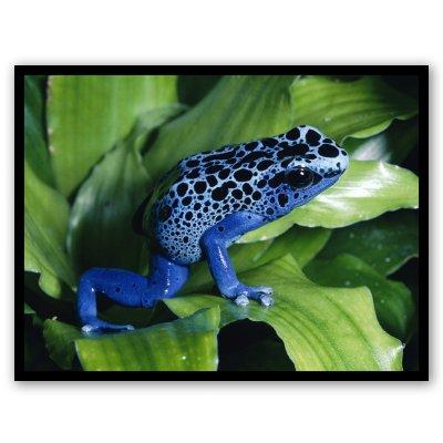 AK Wall Art Blue Poison Dart Frog Vinyl Sticker - Car Phone Helmet - Select Size