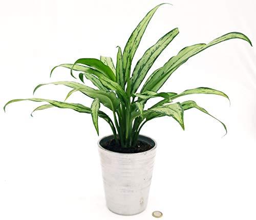 Agloniema White Lanza en maceta de cerámica plateada, maceta de 14 cm, planta auténtica