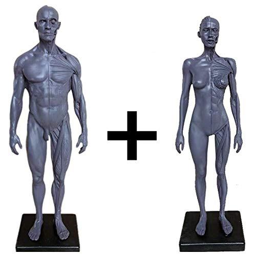 BIingkee Männer & Frauen Human Anatomy Figur Menschlicher Körper Muskel und Skelett Anatomisches Modell écorché und Hautmodell Labormaterial, Anatomisches Referenz für Künstler