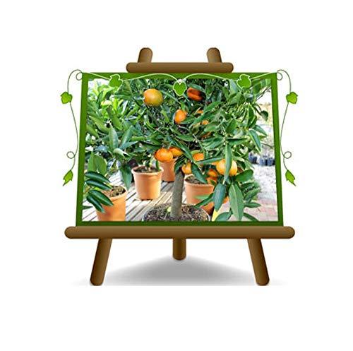 Clémentine Citrus - Citrus Clementina - Plante Fruitière sur 22 Pots - Max 70 cm