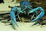 Topbilliger Tiere Blauer Floridakrebs -...