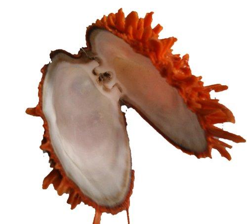 Echte Muscheln & Schnecken - Spondylus butleri Orange - Muschel - 1 Stück