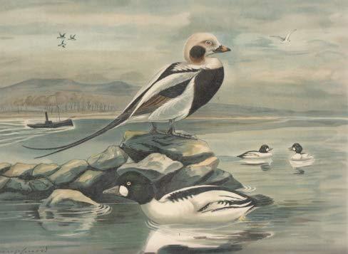 Schellente. Fuligula clangula (L.). Männchen im Prachtkleide. Eisente. Harelda hyemalis (L.). Männchen im...