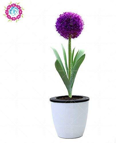 100pcs Rare géant Allium Giganteum Bonsai seeds.Blue Allium graines en pot de fleurs vivaces, finition des pelouses et l'aménagement paysager. Variétés 2