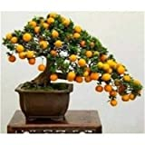 AGROBITS Orange Bonsai Cold-Hardy - Sweet Mandarin Orange Tree (Citrus Reticulata) 20 Pcs Chinese Gold Bonsai Fruit Tree for Garden: 5