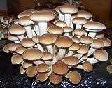 acquaverde Panetto Substrato di Funghi Pioppini Pioppino Facile Coltivazione da 5 lt più Cacciate Micelio Selezionato