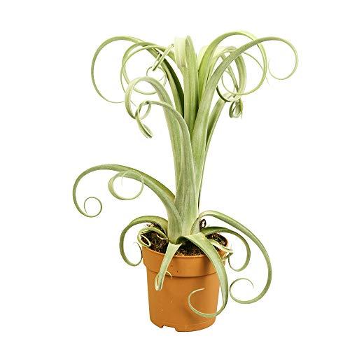 Tillandsia « Curly Slim » | Broméliacée | Plante verte tropicale | Hauteur 30-40cm | Pot Ø 12cm