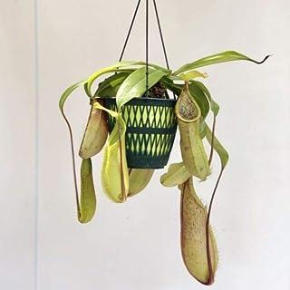 """食虫植物:ウツボカズラ(ネペンテス)""""ルイーザ""""*吊り鉢"""
