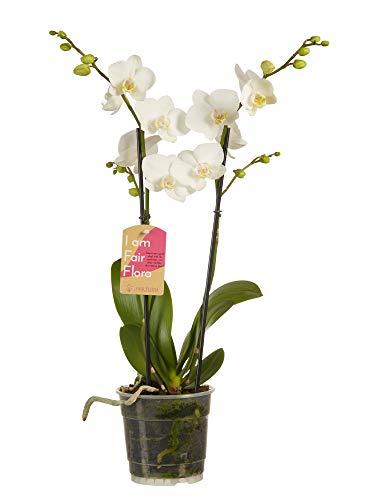 Phalaenopsis multiflora | plante d'intérieur| hauteur 50 cm | Pot 12 cm | Entretien facile