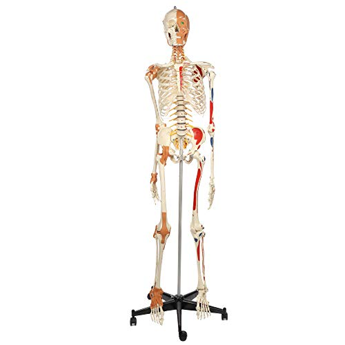 Rudiger Anatomie Deluxe Skeleton Model, Life Size Flexible Anatomy Skeletal Replica, 500 Numbered & Painted Muscle Origin and Insertion Points, Display Stand, Dust Cover, 4-Part Skull, 5 Year Warranty